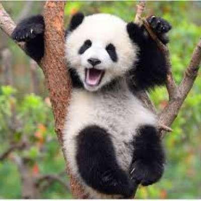 Radical_panda
